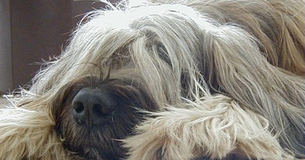 Briards Aus Dem Barnimer Land Briard Dog Briard Fluffy Dogs
