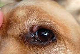 Bump On Dog Eyelid Cyst Stye Growth And Tumors Dogs Cats Pets Dogs Dog Eyes Dog Remedies
