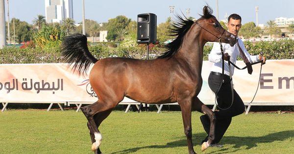 صور مقتطفات اليوم الأول من بطولة ابوظبي الوطنية ٢٠١٦ لجمال الخيول العربية Horses Arabians Beautiful Gorgeous
