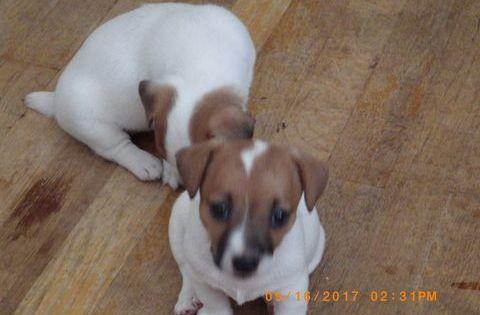 Litter Of 4 Jack Russell Terrier Puppies For Sale In Cincinnati