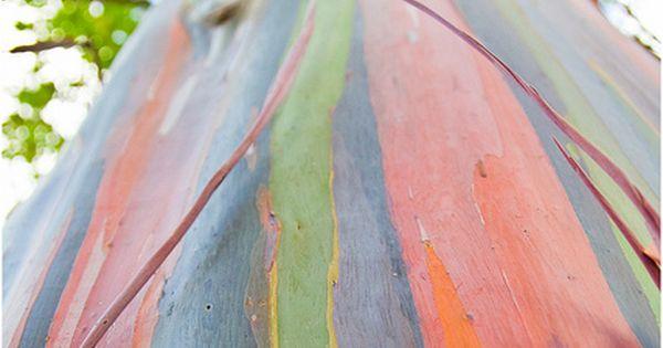 Rainbow Eucalyptus tree trunk in Costa Rica