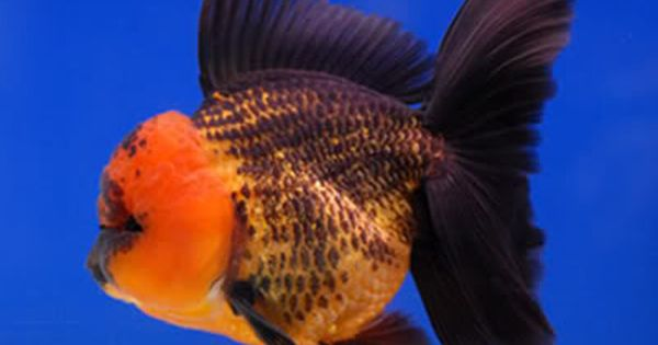 Black Gold Oranda Apache Oranda Goldfish Goldfish Species Goldfish Types