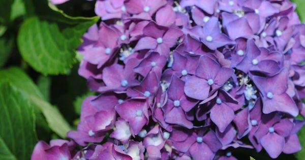How to Get a Hydrangea Plant to Bloom via @Pamela Culligan Culligan