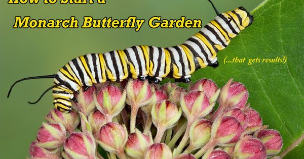 How to Start a Monarch Butterfly Garden at Home Gardens