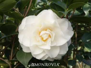 Swan Lake Camellia Monrovia Swan Lake Camellia Winter Plants Camellia Shade Flowers