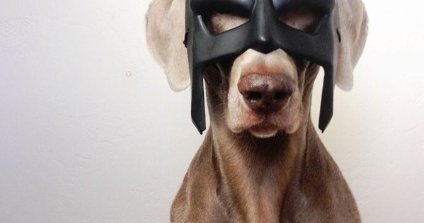 Batman Weimaraner Puppy Dogs Halloween Costume