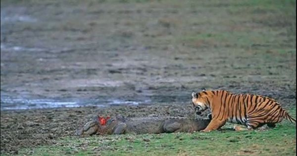 Saltwater crocodile vs tiger - photo#40