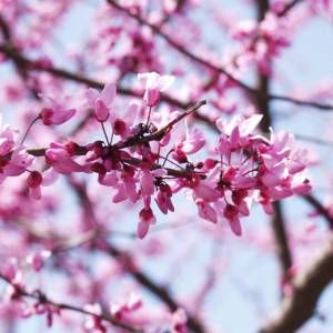 Small Tree Year Round Interest Magenta Flowers Followed By Lovely Delicate Leaves Then Reveals Attractive Nature Backgrounds Iphone Flowers Cherry Blossom