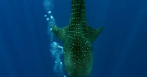 Whale shark diving in Oki!