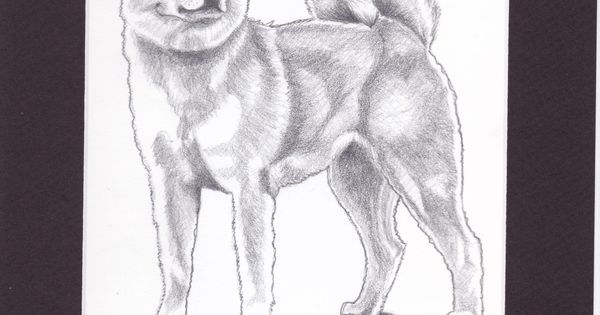 This Is A Pencil Drawing I Did Of A Red Akita Inu That I