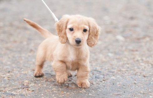 Baby Dachshund On A Walk Dachshund Puppies Baby Dachshund