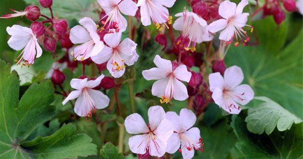 G ranium vivace rhizomateux 39 spessart 39 plante tapissante for Plante tapissante vivace