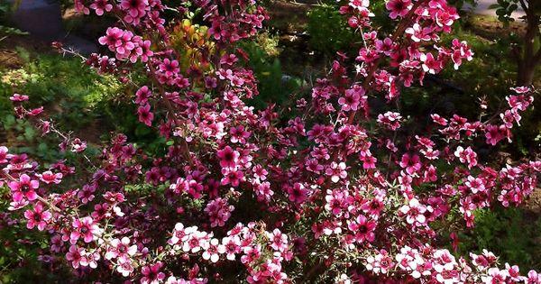 Dwarf New Zealand Tea Tree Landscaping Pinterest Tea