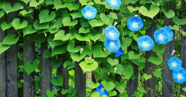 Perennial Vines For Fences Wood Fence Annual And