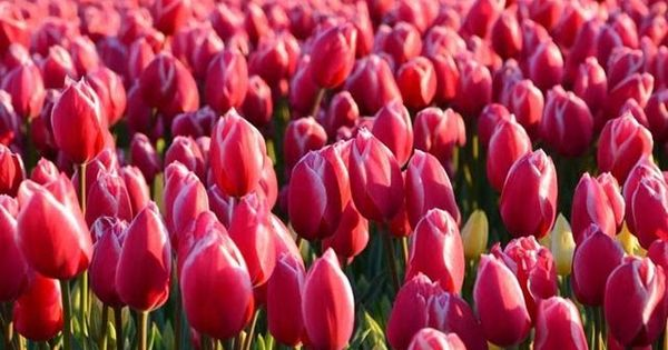 Terbaru 29 Gambar Bunga Yg Gampang Digambar 10 Macam Macam Bunga Cantik Untuk Halaman Rumah Dilengkapi 10 Macam Macam Bunga C Mawar Cantik Bunga Taman Bunga
