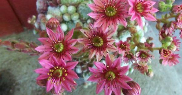 Sempervivum Hen Candy Floss Sempervivum Flower Garden Brown Thumb