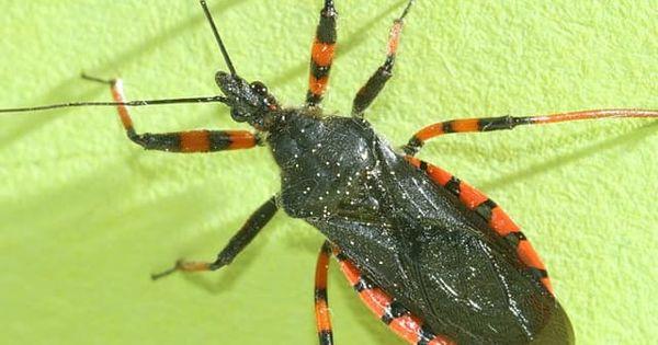 The Assassin Bug Facts Dangers Prevention Termite Control Termites Termite Inspection