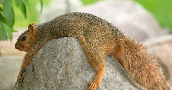 Are Squirrels Nocturnal Squirrel Cute Animals Cute Squirrel