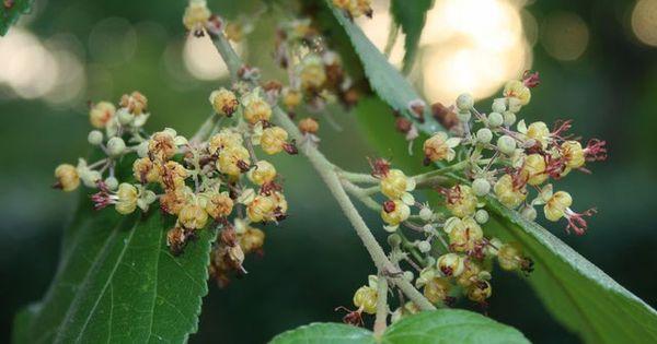 Guásima: esta planta milagrosa crece naturalemente en las