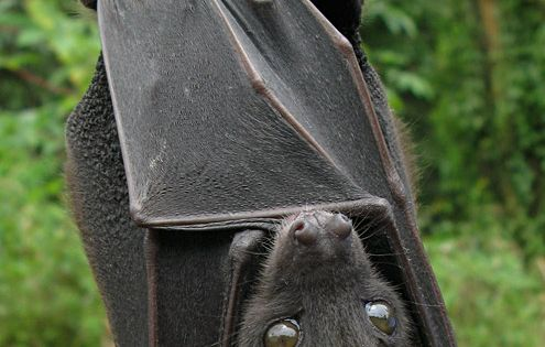 OMG - that face! What a cutie...wish I could have a bat