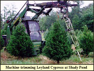 Christmas Tree Trimming Shaping At Shady Pond Tree Farm Tree Farms Christmas Tree Farm Tree Trimming