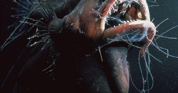 Anglerfish anglerfish pictures anglerfish facts deep for Angler fish adaptations