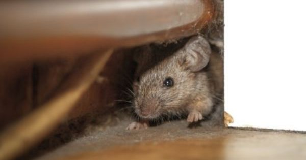Hot Topics Can Attic Insulation Deter Rats Rodent Problem Rodent Removal Rodents