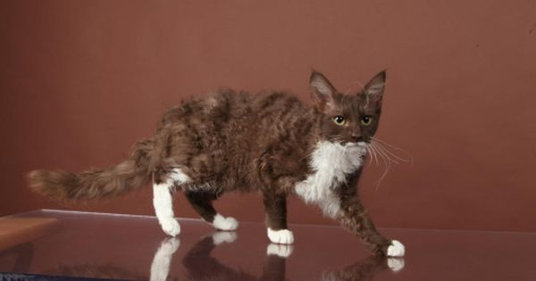Chocolate With White Pretty Cats Cat Colors Warrior Cats