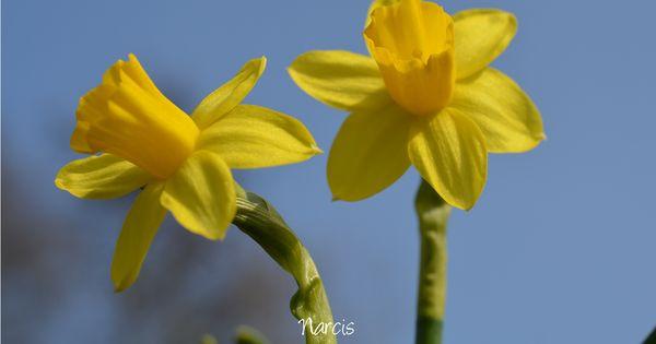 Slaapkamer Paars Lila : Narcis - Narcissen tegen een heldere blauwe ...