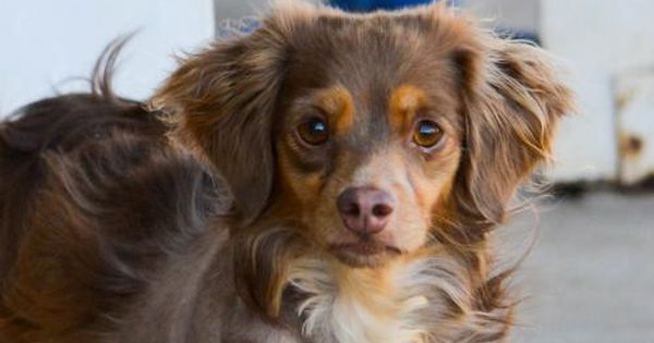 Pomeranian Bold And Inquisitive Dachshund Mix Dog Adoption Pets