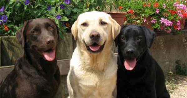 Resultat De Recherche D Images Pour Photos De Labrador Marron Labrador Retriever Labrador Lab Dogs