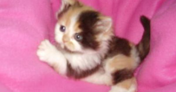 Caloco Kittens For Sale San Diego Ca Pennysaverusa Calico Kitten Kittens Cutest Cute Baby Animals
