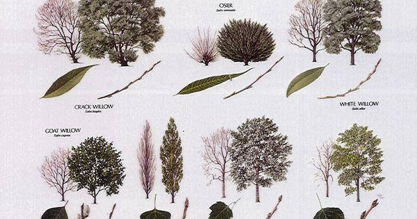 Tree Identification Poplars Willow Lime Trees