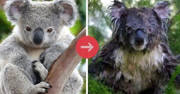 These Animals Go From Sweet To Nightmares When They Re Wet Animals Wet Sloth Koala Bear