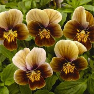 Viola Velour Frosted Chocolate Garden Seeds Annual Flower