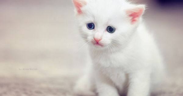 Precious Little White Kitten With Gorgeous Blue Eyes Kittens Cutest Images Of Cute Cats Cute Cats