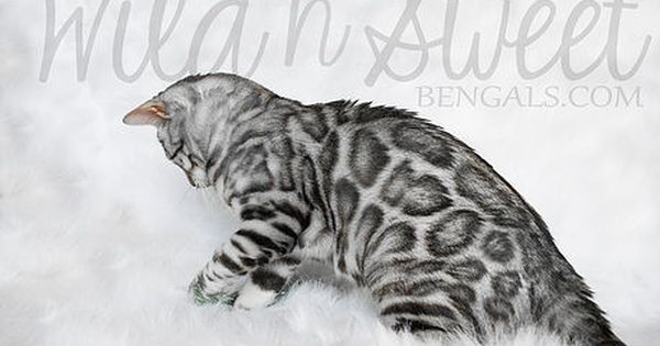 Bengal Kittens Cats For Sale Near Me With Images Bengal Kitten Bengal Cat Cats And Kittens