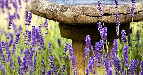 Simply Beautiful - Lavender and Birdbath. I want to learn how to