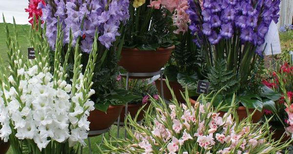 Growing Gladiolus In Pots – Tips For Planting Gladiolus In ...
