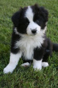 Black And White Border Collie Puppy Do You Need Boarding Or Daycare For Your Puppy At Rocky S Retreat In Central Border Collie Puppies Collie Puppies Collie