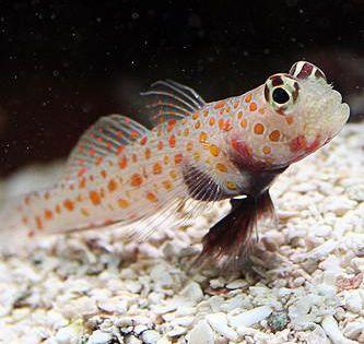 Orange Spotted Goby Saltwater Fish Tanks Aquarium Fish Fish List