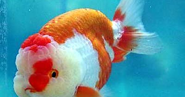 Ranchu Goldfish For Sale From Mona S Koi Goldfish For Sale Goldfish Lionhead Goldfish