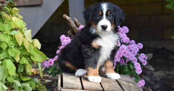 Bernese Mountain Dog Puppy For Sale In Fredericksburg Oh Adn 49262 On Puppyfinder Com Gender Puppies For Sale Bernese Mountain Dog Puppy Bernese Mountain Dog