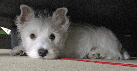 Pluto The West Highland Terrier Puppy So Cute West Highland