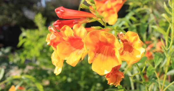 Yellow Bells Aka Esperanza Tecoma Stans Sangria Looks