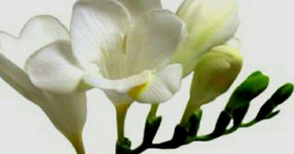 Pin By Mona Moni On Fresia Freesia Flowers Wholesale Flowers Wedding Freesia Wedding Bouquet