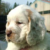 Clumber Spaniel One Of My Favorite Breeds Hard To Come By Tho And Expensive Maybe One Day Clumber Spaniel Clumber Spaniel Puppy Spaniel Dog