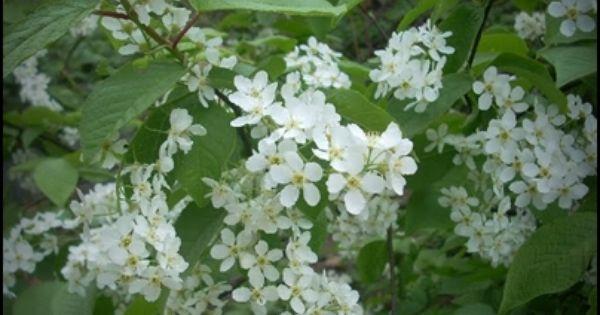 Nalewka Czeremchowa Na Kwiatach Przepis Recipe Images Plants Liqueur