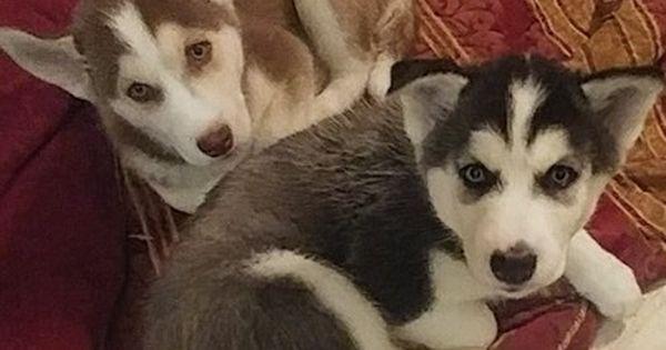 Siberian Husky Puppy For Sale In Orlando Fl Adn 34302 On Puppyfinder Com Gender Male Age 7 Weeks O Husky Puppies For Sale Siberian Husky Cute Baby Animals