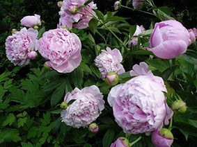 Peonies Morning Sun And Afternoon Shade 4 5 Hours Sun Max Or